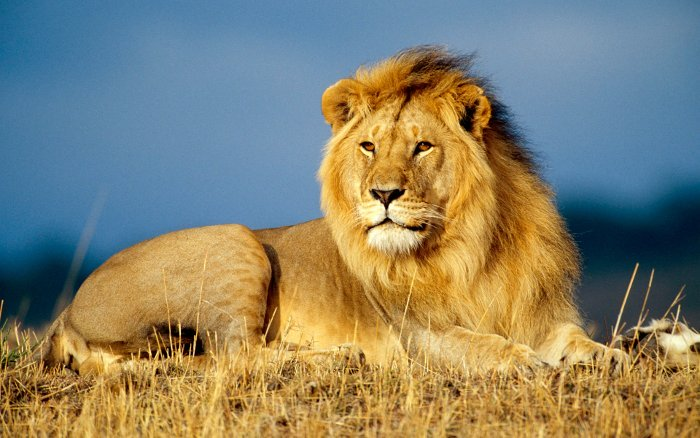 Mơ thấy sư tử đánh con gì?