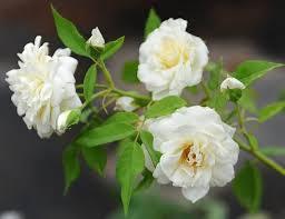 Mơ thấy hoa