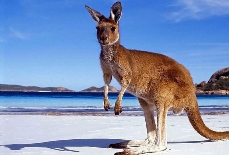 mơ thấy kangaroo đuổi theo